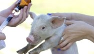 AAP: Animal Antibiotics Threaten Kids' Health
